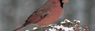 redbirrd